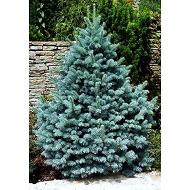 Ель голубая Глаука Picea pungens Glauca (1 саженец) описание, отзывы, характеристики