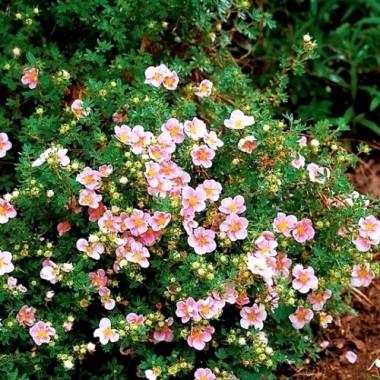 Лапчатка кустарниковая Пинк Квин Potentilla f. Pink Queen (1 саженец) описание, отзывы, характеристики