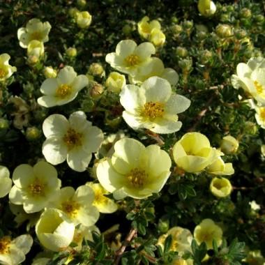 Лапчатка кустарниковая Примроуз Бьюти Potentilla f. Primrose Beauty (1 саженец) описание, отзывы, характеристики