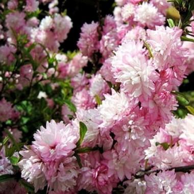 Вишня декоративная (Сакура) Розеа  Плена Prunus glandulosa Rosea Plena (1 саженец) описание, отзывы, характеристики