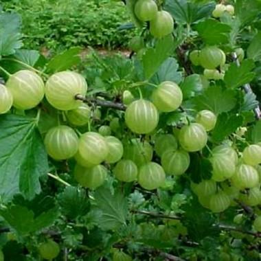 Крыжовник Хиннонмеки Грин (самоплодный) Ribes u.-c. Hinnonmäki Grön (1 саженец) описание, отзывы, характеристики
