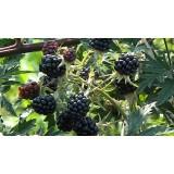 Ежевика безшипная Торнлес Эвергрин Rubus frut. Thornless Evergreen (1 саженец) описание, отзывы, характеристики