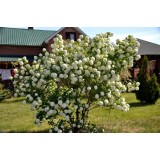 Калина Бульденеж Розеум Viburnum opulus Roseum  опис, характеристики, відгуки