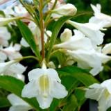 Вейгела гибридная белоснежная Кандида Weigela Candida (1 саженец) описание, отзывы, характеристики