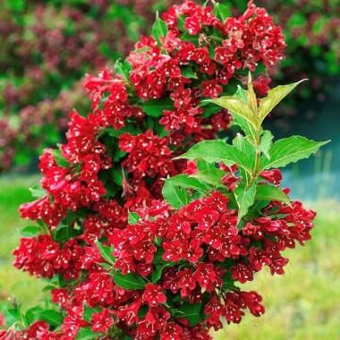 Вейгела гибридная Ред Принц Weigela Red Prince (1 саженец) описание, отзывы, характеристики