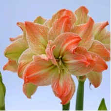 Гіпеаструм Amaryllis Exotic Nymph (Double) (1 цибулина)