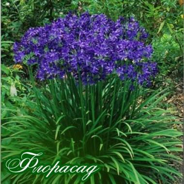 Агапантус Лилипут (1 растение) описание, отзывы, характеристики