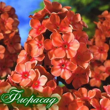 Флокс метельчатый paniculata Orange Perfection (1 растение) описание, отзывы, характеристики