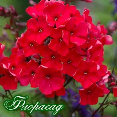 Флокс волотистий paniculata Red Girl (1 рослина) опис, характеристики, відгуки