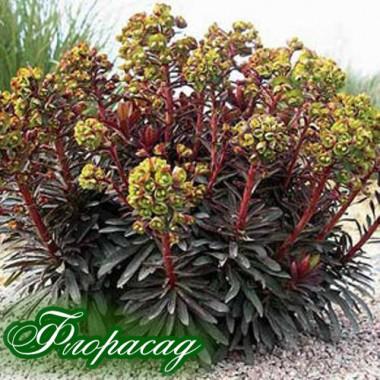 Молочай amygdaloides Purpurea (1 растение) описание, отзывы, характеристики