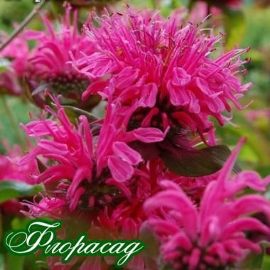 Монарда didyma Pink Lace (1 растение) опис, характеристики, відгуки