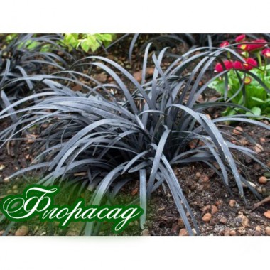 Офіопогон planiscarpus Niger (1 рослина) опис, характеристики, відгуки