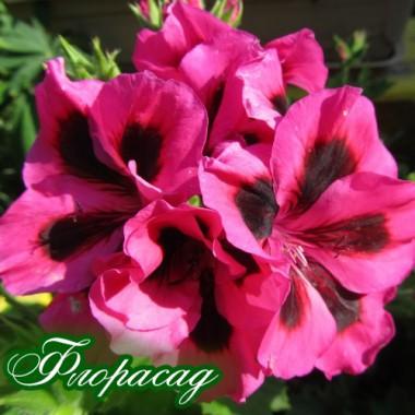Пеларгонія королівська Hazel Heather (1 саджанець) опис, характеристики, відгуки