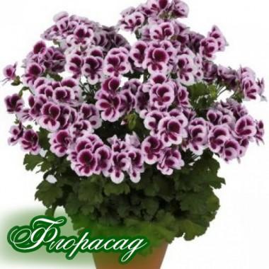 Пеларгония королевская Pac Candy flowers bicolor (1 саженец) описание, отзывы, характеристики