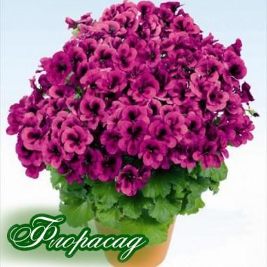 Пеларгония королевская Pac Candy flowers violet (1 саженец) описание, отзывы, характеристики