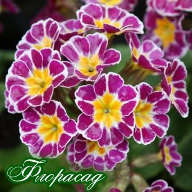 Примула elatior Silver Lace Purple (1 рослина) опис, характеристики, відгуки