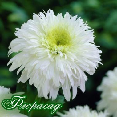 Ромашка садовая superbum Fiona Coghill (1 растение) описание, отзывы, характеристики