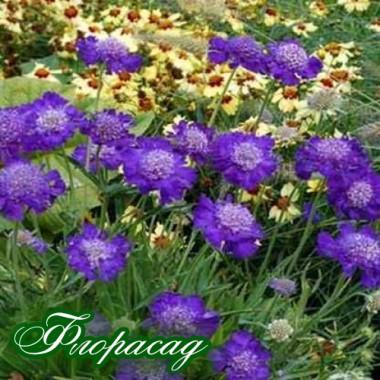 Скабиоза Stafa (1 растение) описание, отзывы, характеристики