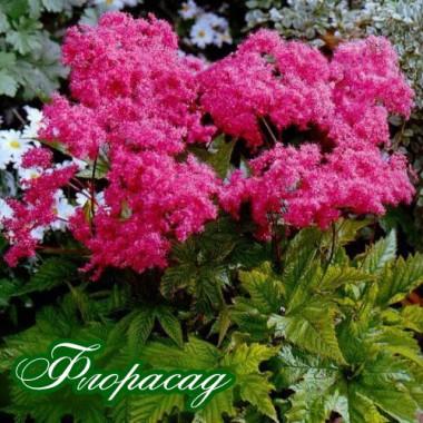 Філіпендула purpurea Elegans (1 рослина) опис, характеристики, відгуки