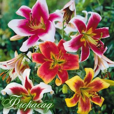 Лілія  садова суміш (35 грам ДЄТКА) опис, характеристики, відгуки