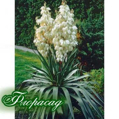 Юкка нитчаста (1 рослина трирічна) опис, характеристики, відгуки