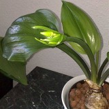 Еухаріс Amazonica (лілія амазонська) (1 цибулина) опис, характеристики, відгуки