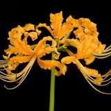 Лікоріс (лілія павукова) Aurea (1 цибулина) опис, характеристики, відгуки