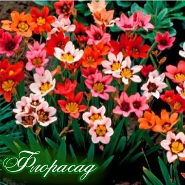 Спараксіс Tricolor суміш (20 цибулин) опис, характеристики, відгуки