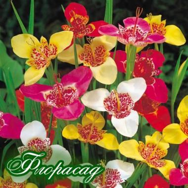 Тигридия Pavonia смесь (5 луковиц) описание, отзывы, характеристики