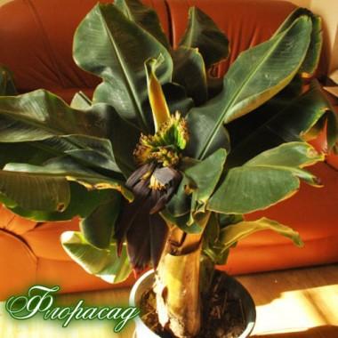 Банан Київський карлик (1 саджанець) опис, характеристики, відгуки