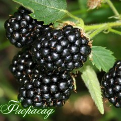 Ежевика безшипная Трипл Краун Rubus frut. Triple Crown (1 саженец)