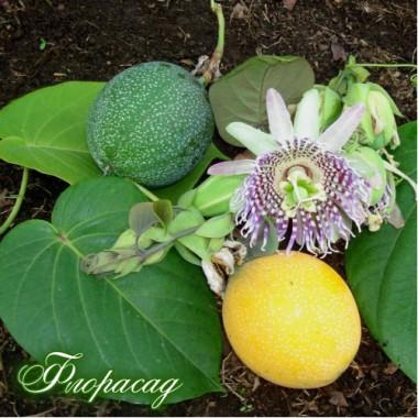 Гранаділла (страстоцвіт) жовта (1 саджанець) опис, характеристики, відгуки