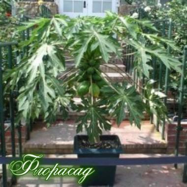 Папайя (динне дерево) (1 саджанець) опис, характеристики, відгуки