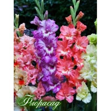 Гладиолус крупноцветковый смесь (20 луковиц) описание, отзывы, характеристики