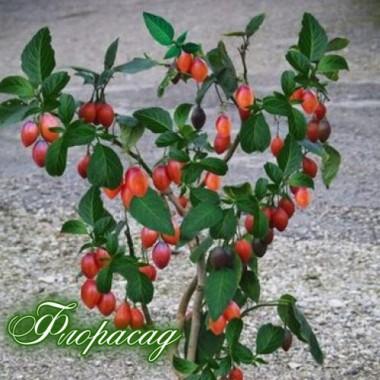 Томатне дерево Тамарілло (1 саджанець) опис, характеристики, відгуки