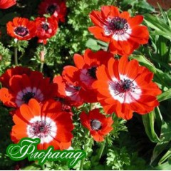 Анемона корончатая Hollandia (5 луковиц)