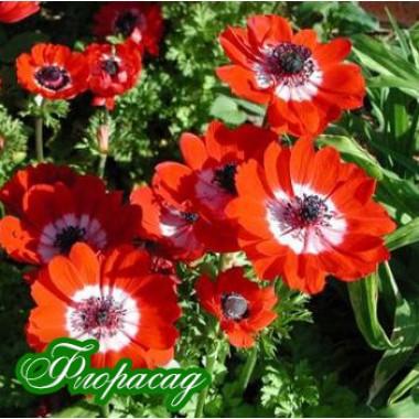 Анемона корончатая Hollandia (5 луковиц) описание, отзывы, характеристики