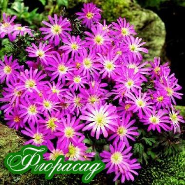 Анемона ніжна Violet Star  (10 цибулин) опис, характеристики, відгуки