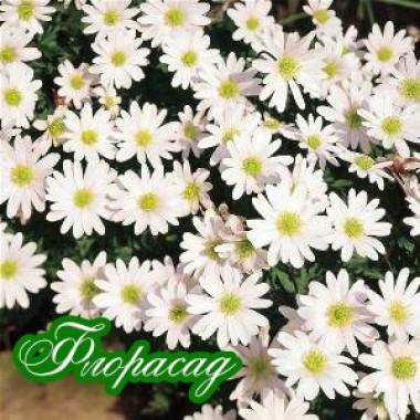 Анемона ніжна White Sprlendour  (10 цибулин) опис, характеристики, відгуки