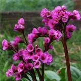 Бергения cordifolia Red (1 растение) описание, отзывы, характеристики