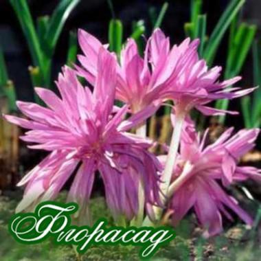 Пізньоцвіт осінній Colchicum autumnale Pleniflorum (1 цибулина) опис, характеристики, відгуки