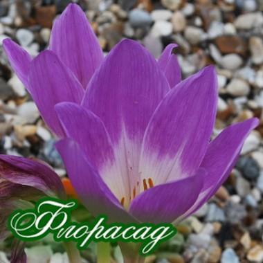 Пізньоцвіт осінній Colchicum Violet Queen (1 цибулина) опис, характеристики, відгуки