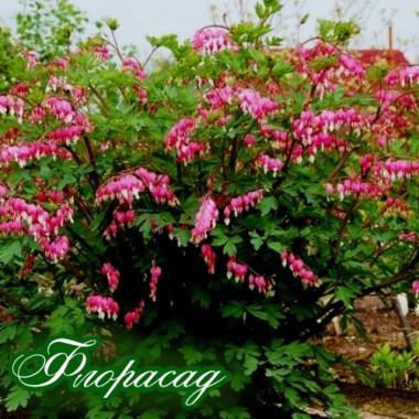 Дицентра spectabilis (1 растение) описание, отзывы, характеристики