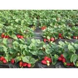 Суниця ремонтантна садова Альбіон (3 саджанці) опис, характеристики, відгуки