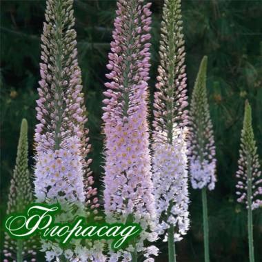 Эремурус White Beauty Favorite (1 корневище) описание, отзывы, характеристики