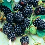 Ежевика безшипная Трипл Краун Rubus frut. Triple Crown (1 саженец) описание, отзывы, характеристики