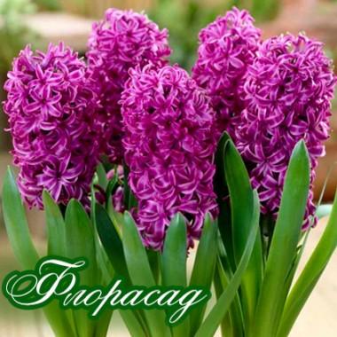 Гиацинт садовый Purple Sensation (2 луковицы) описание, отзывы, характеристики