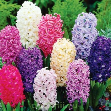 Гиацинт садовый смесь сортов (5 луковиц) описание, отзывы, характеристики