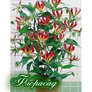 Глоріоза Rothschildiana (1 цибулина) опис, характеристики, відгуки