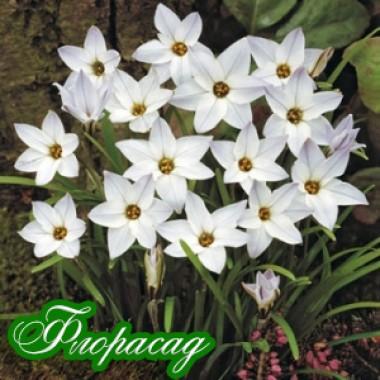 Ифейон Ipheion White Star (7 луковиц) описание, отзывы, характеристики